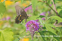 03029-01515 Spicebush Swallowtail (Papilio troilus) on Butterfly Bush (Buddleja davidii) Marion Co. IL