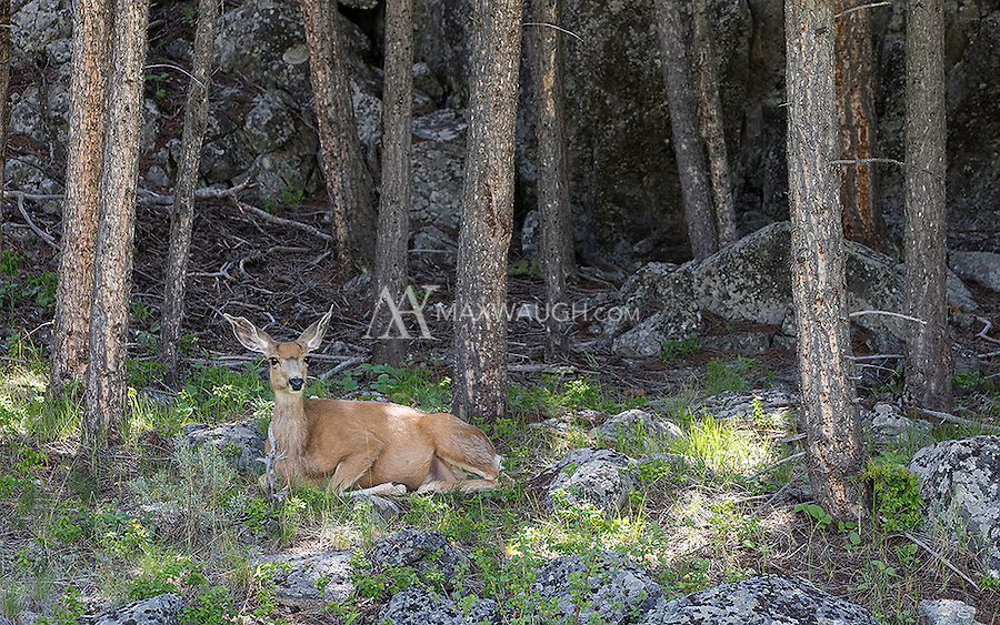 A mule deer doe rests one afternoon in Yellowstone's backcountry.
