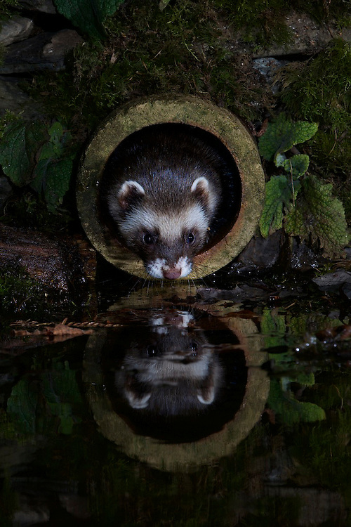A wild European Polecat (Mustela putorius)sticking it's head out of an old pipe