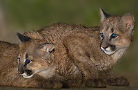 656320009 female captive wildlife rescue mountain lion cubs zuni and kaya felis concolor at the wildlife waystation wildlife recovery and care facility in southern california
