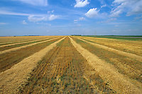 Farm field with wheat swathed into rows ready for combine near Casselton, Cass County, North Dakota, AGPix_0700.