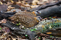 A pair of Scaly-breasted Partridge (Arborophila chloropus) wander the forest floor while feeding,  Kaeng Krachan, Thailand.