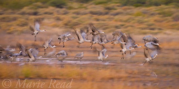 Greater Sandhill Cranes (Grus canadensis) take flight, Bosque Del Apache National Wildlife Refuge, New Mexico, USA<br /> Cropped to panorama format