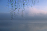 Tree limb close-up at sunrise along Lake Washington in fog Seattle Washington State USA