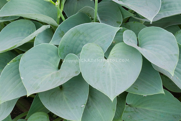 Hosta Blue Moon Foliage Leaves Plant Flower Stock Photography