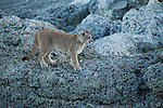 Mountain Lion (Puma concolor) six month old male cub, Torres del Paine National Park, Patagonia, Chile