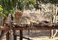 Stock photo of a lioness resting on a wooden structure in Pradyuman park, Gujarat, India.