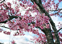Stock photo - gorgeous pink cherry blossom branches in early spring in Georgia, America.