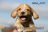 Bob, ANIMALS, REALISTISCHE TIERE, ANIMALES REALISTICOS, dogs, photos+++++,GBLA4367,#a#, EVERYDAY
