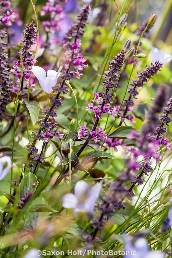 Ocimum basilicum 'Herbalea Wild Magic' - Dark leaf flowering basil
