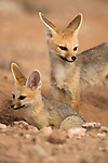 Cape fox, Vulpes chama, with pup, Kgalagadi Transfrontier Park,Northern Cape, South Africa