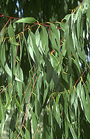 Ribbon Gum Eucalyptus viminalis (Myrtaceae) HEIGHT to 50m. Large tree. BARK Rough, peels in long ribbons revealing smoother, pale patches. BRANCHES Mainly upright. LEAVES Juvenile leaves opposite, oblong, to 10cm long. Adult leaves alternate, to 18cm long and tapering. REPRODUCTIVE PARTS White flowers usually in clusters of 3; buds have scarlet domed caps. Fruits rounded. STATUS AND DISTRIBUTION Native of S and E Australia, grown here for timber and ornament.
