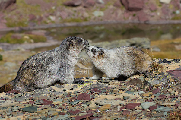 Hoary Marmots (Marmota caligata) greeting behavior.  Glacier National Park, Montana.  Fall.