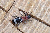 Ameisenbuntkäfer, Ameisenbunt-Käfer, Borkenkäferfresser, Ameisenartiger Buntkäfer, Thanasimus formicarius, Ant beetle, European Red-bellied Clerid