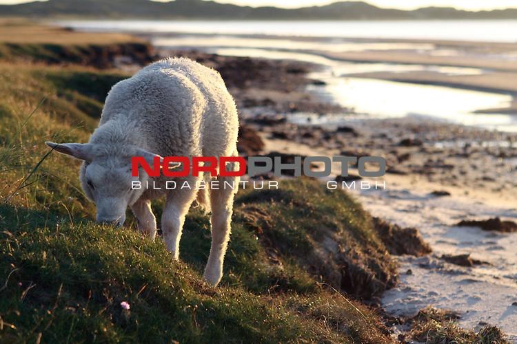 08.08.2013, Nordseeinsel Sylt, GER, im Bild Schaf im Watt, Foto © nph / Kohring