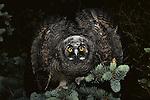 Long-eared owlet, Columbia Plateau, Washington