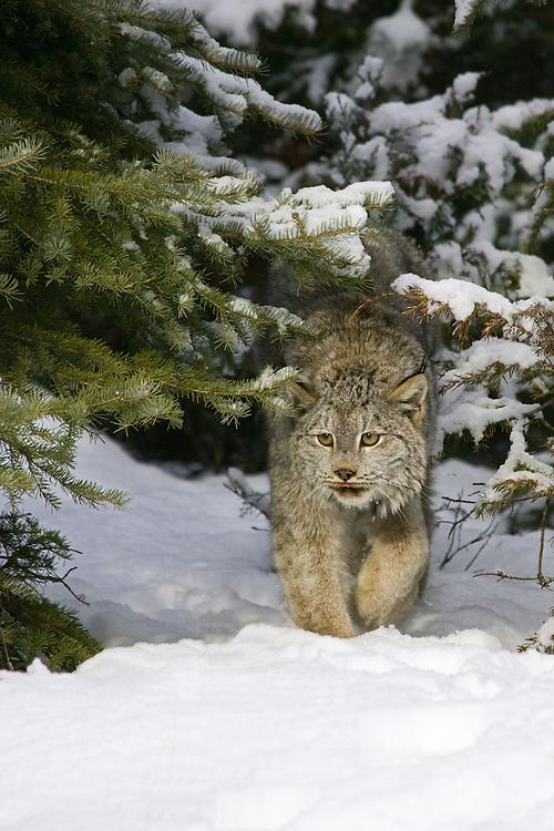 Canada Lynx walking through a snowy forest - CA