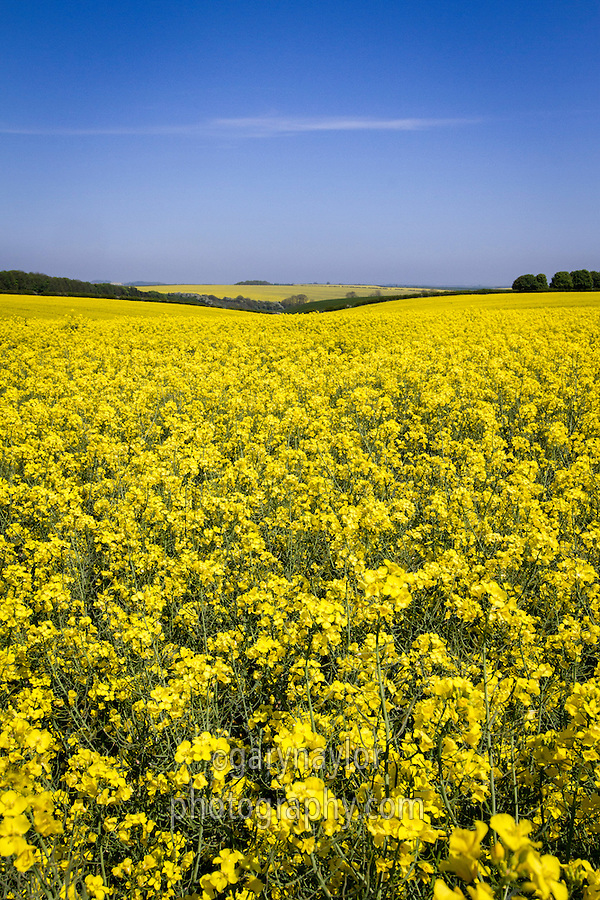 Oil seed rape in flower - May, Lincolnshire Wolds