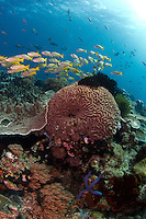 reef scene magic mountain, fusiliers, coral formation