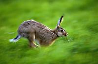 Europäischer Feld-Hase, Feldhase, Hase, im Lauf mit Bewegungsunschärfe, Lepus europaeus, European hare
