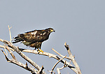Juvenile Bald Eagle perched on a branch at Bosque del Apache National Wildlife Refuge