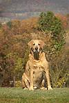 Labrador Retreiver