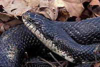 Black Rat Snake<br /> Elaphe obsoleta <br /> in leaf litter<br /> Delaware
