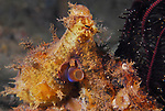 Octopus-Algae ,  Abdopus aculeatus, Underwater macro marine life images;  Photographed in Tulamben; Liberty Resort; Indonesia.Underwater Macro Photographer on FB 2nd Annual event
