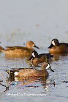 00722-02609 Blue-winged Teal (Anas discors) males and females in wetland, Marion Co., IL