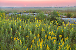 Blue Mounds State Park; Minnesota:<br /> Goldenrod (solidago) and prairie sunflower (Helianthus petiolaris) flowers in a tallgrass prairie under an evening sky