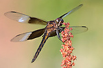 A Dragonfly Resting On A Flower, Widow Skimmer, Libellula luctuosa, Space For Copy