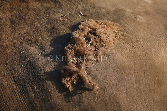 Close up view of a clump of winter hair yet to be shed by a bison