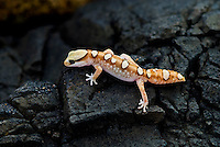 """Diplodactylid Geckos are the largest genus of the Diplodactylinae, containing 40 or so species. Most are small, between 3"""" and 4"""", with the larger ones reaching no more than 6"""".Their common feature is that they have slightly dilated tips to their digits, as otherwise they are a varied genus of lizards, containing both arboreal and terrestrial species. Many of them are colorful, and their tail is adapted either for defense or for fat storage."""