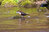 White-throated Dipper (Cinclus cinclus) climbing out of Water, mid stream. Dippers have a remarkable way to catch food in a niche area. They are able to dive under water readily at will and walk along the bottom in search of caddis fly larva and other food.