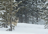 A gray wolf from the Wapiti Lake Pack scans the area for danger before moving before moving through an open glade.  Yellowstone National Park.