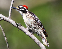 Adult male Nuttall's woodpecker