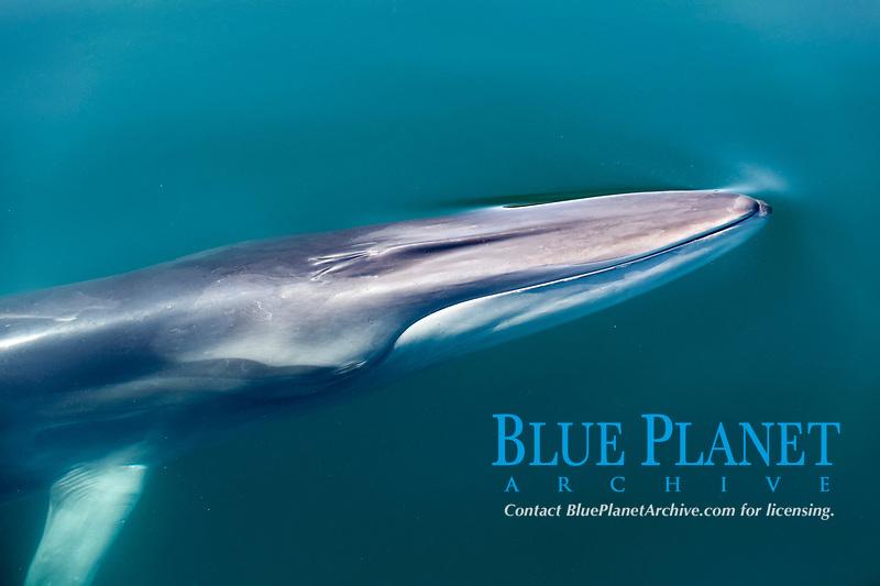 fin whale, Balaenoptera physalus, Baja California, Mexico, Gulf of California, aka Sea of Cortez, Pacific Ocean