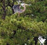 A Great Blue Heron settling in a tree near one of the Coves off Lake Panamoka at Brookhaven State Park in Wading River on August 20, 2007. Photo by Jim Peppler. Copyright Jim Peppler/2007...