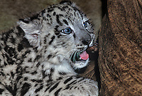654403017 a young snow leopard cub panthera uncia lays against a large log in its enclosure in a zoo - species is highly endangered in the wild - species is native to the high steppes of central asia