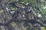 Brazoria County, Damon, Texas; a Barred Owl owlet  and one of its parents, preening eachothers feathers, while perched on a branch of a live oak tree in early morning light