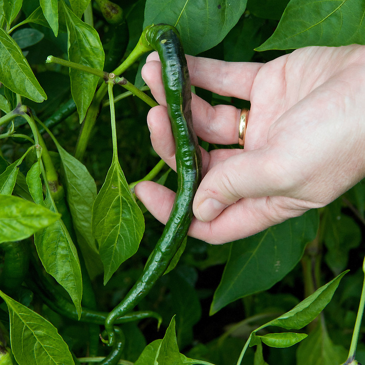 Picking outdoor-grown 'Pinnochio Nose' chillies.