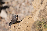 La Jolla, California; a juvenile Peregrine Falcon (Falco peregrinus) protects the remains of a small bird while perched  on a cliff over the rocky shoreline