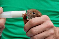 Eichhörnchen, Europäisches Eichhörnchen, verwaistes Jungtier, Junges wird von Hand aufgezogen, Wildtier-Aufzucht, Fütterung mit Spezial-Aufzuchtmilch aus einer Spritze, Sciurus vulgaris, European red squirrel, Eurasian red squirrel