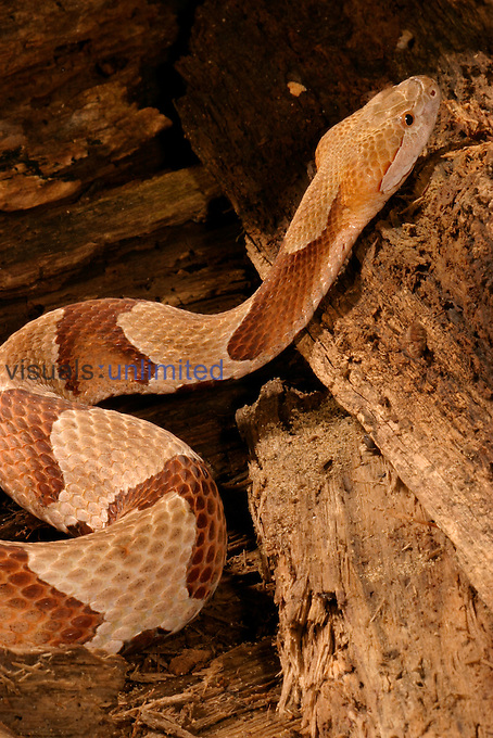 Northern Copperhead ,Agkistrodon contortrix mokasen,