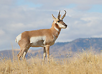 A pronghorn antelope buck surveys his surrounding in the foothills of Montana.<br />