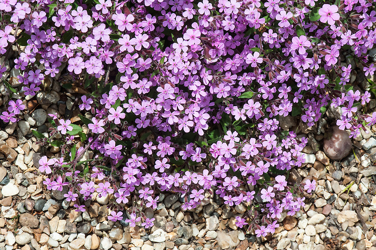 Saponaria ocymoides, late May. A low-growing, mat-forming perennial with small semi-evergreen leaves and loose clusters of pink flowers. Common names include Basil soap-wort, Rock soapwort, and Tumbling Ted.