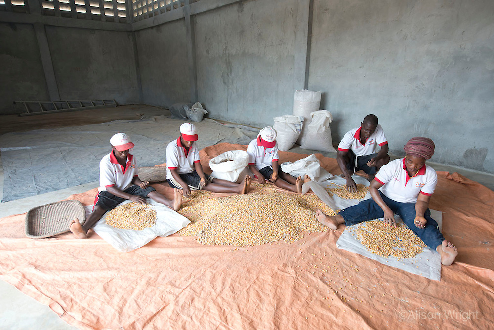 BRAC PROJECT, BRAC feed mill where they grind feed and raise chickens for distribution. Workers sorting rocks from the maize. Buchanan, Liberia, Africa