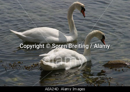 Mute swans Cygnus olor pair swimming and taking food at low water in fjord