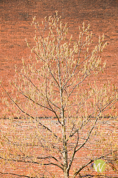 Maple tree in spring with brick wall