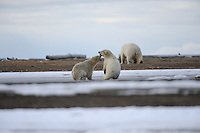 Two polar bear cubs mock fight while following their mother along the barrier island outside Kaktovik, Alaska. Every fall, polar bears gather near the community, on the northern edge of ANWR, waiting for the Arctic Ocean to freeze. The bears have become a symbol of global warming.